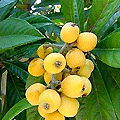 luscious fruit loaded with Laetrile - another of natures cancer-busters