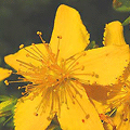long associated with magic, St Johns Wort is now better known for its natural, side-effect-free antidepressant properties