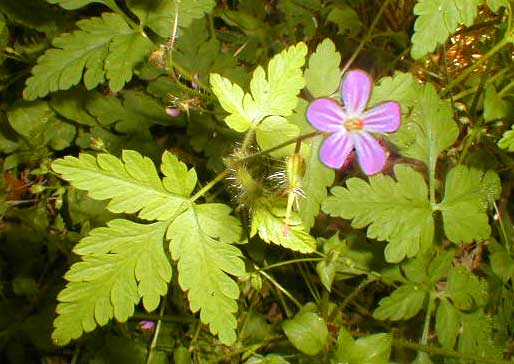 Herb Robert Tea & Tincture anti cancer natural herbal remedy