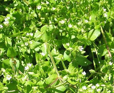 chickweed weight loss tea reviews