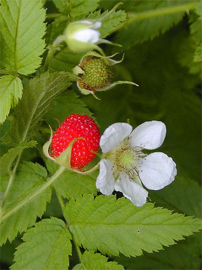 Wild Raspberry Rubus Rosifolius Rosaceae